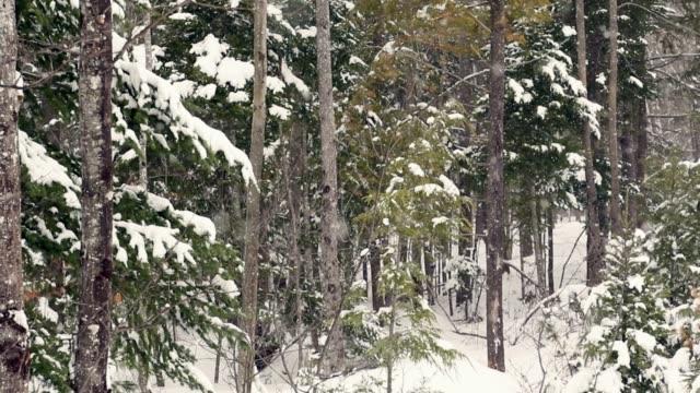 Heftige Schneefälle in Maine Wald herab.