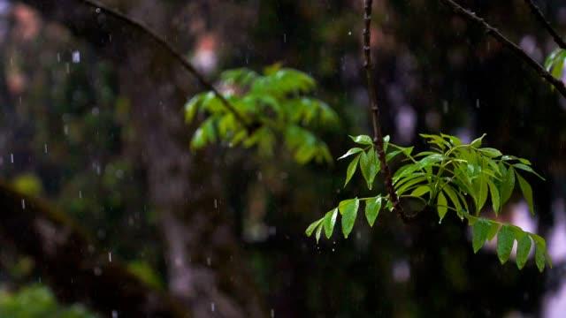 heavy spring rain falling on ash tree - ash tree stock videos & royalty-free footage