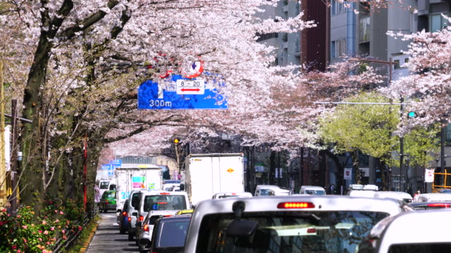 heavy traffic under the cherry blossoms tree line at yasukuni doori. fluttering cherry blossoms are falling down from rows of cherry trees to the road. - treelined stock videos & royalty-free footage