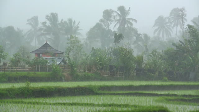 Heavy tropical rain storm over rice paddy in Asia