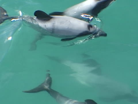 hectors dolphin pod mcu just under waters surface, break to breathe then split and leave frame. - medium group of animals stock videos & royalty-free footage