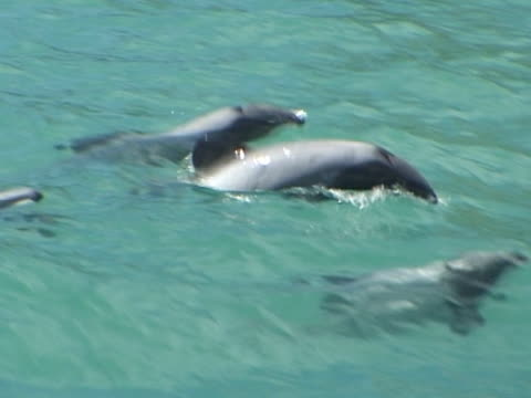 hectors dolphins, mcu centre frame just under waters surface - medium group of animals stock videos & royalty-free footage