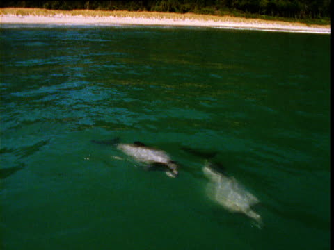 hector's dolphins swim past in shallows, jackson bay, new zealand - hector's dolphin stock videos & royalty-free footage