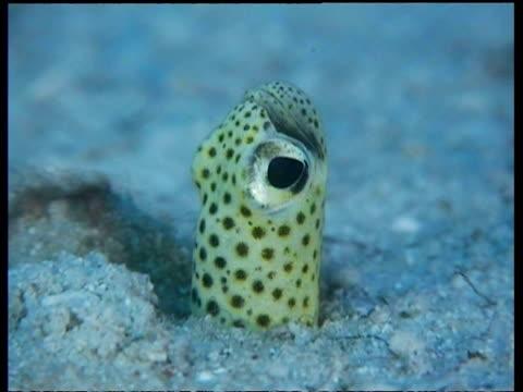 vídeos y material grabado en eventos de stock de cu hectors garden eel, head sticking up out of sand, mabul, borneo, malaysia - patrones de colores