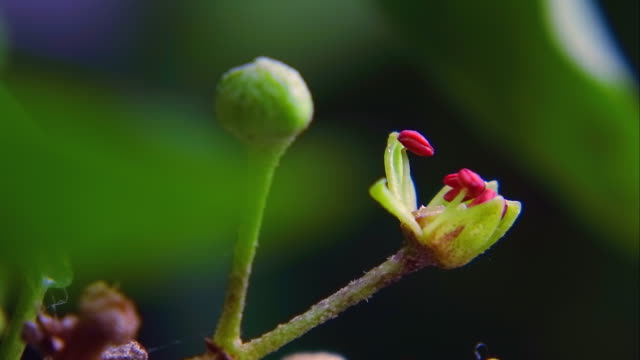 hedera rhombea flower opening - vite flora video stock e b–roll