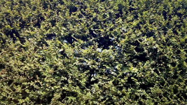 Hedge - Live Fence with bush elm