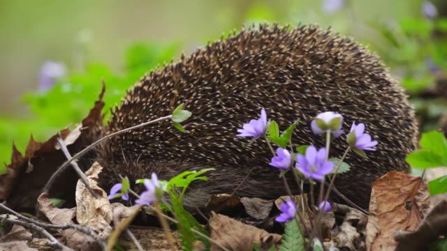 hedgehog and snowdrops - hedgehog stock videos & royalty-free footage