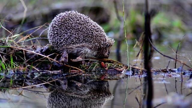 hedgehog and water - hedgehog stock videos & royalty-free footage