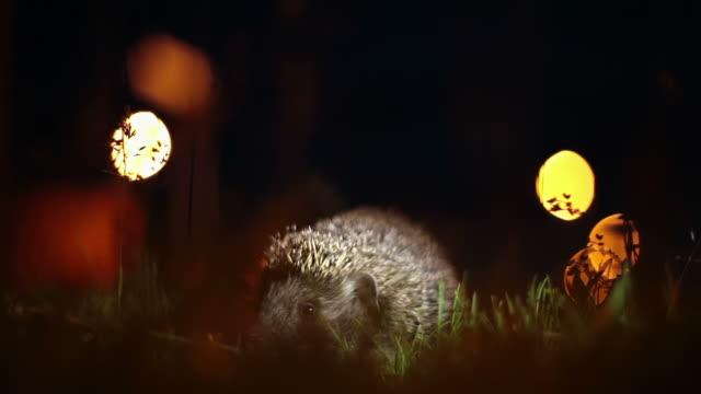 hd: hedgehog at night - hedgehog stock videos & royalty-free footage