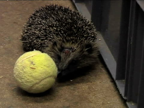 Hedgehog at rescue centre on December 06 2011 in Perth Scotland