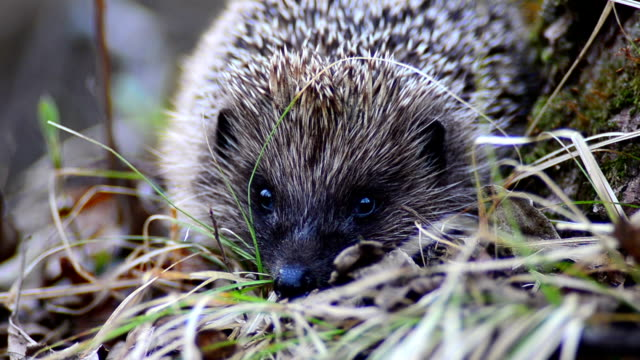 hedgehog blinks. deal! ok! - hedgehog stock videos & royalty-free footage