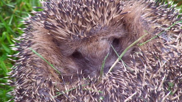 hedgehog close-up - hedgehog stock videos & royalty-free footage