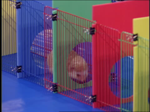 a hedgehog crawls through a colorful obstacle course. - hindernisparcours stock-videos und b-roll-filmmaterial
