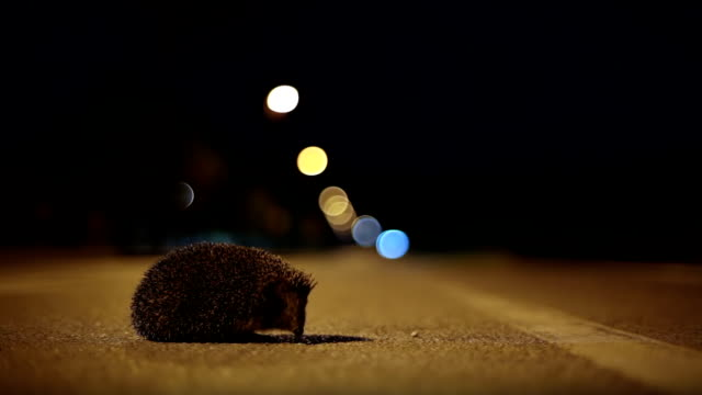 stockvideo's en b-roll-footage met hd - hedgehog crossing the street at night - dieren in het wild