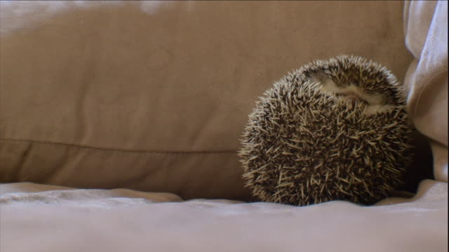 vídeos y material grabado en eventos de stock de a hedgehog curls into a ball near a pillow on a couch. - almohada