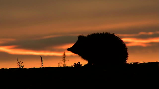 Hedgehog Evening