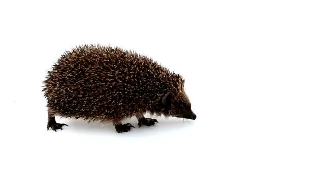 hedgehog explores area - hedgehog stock videos & royalty-free footage