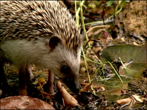 hedgehog (erinaceus europaeus) foraging, autumn, parque natural los alcornocales, andalusia, southern spain - parque natural stock videos and b-roll footage