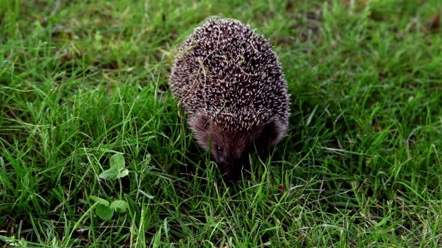 Hedgehog hunting for insects