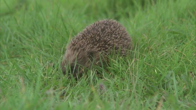 cu, hedgehog in grass - hedgehog stock videos & royalty-free footage