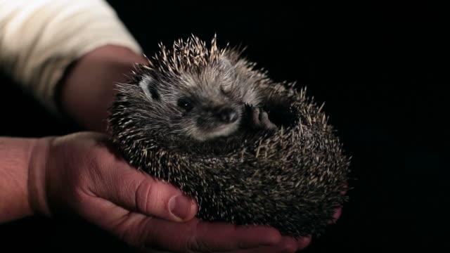 HD - Hedgehog in Human Hands