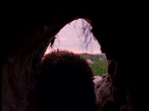 hedgehog leaves its burrow for the evening, uk - hedgehog stock videos & royalty-free footage