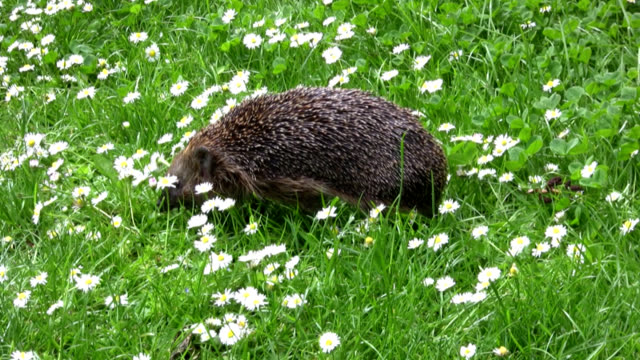 hedgehog on meadow - 2008 stock videos and b-roll footage