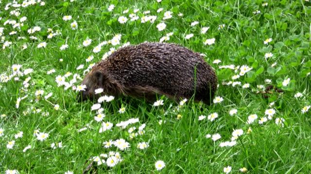 hedgehog on meadow - hedgehog stock videos & royalty-free footage