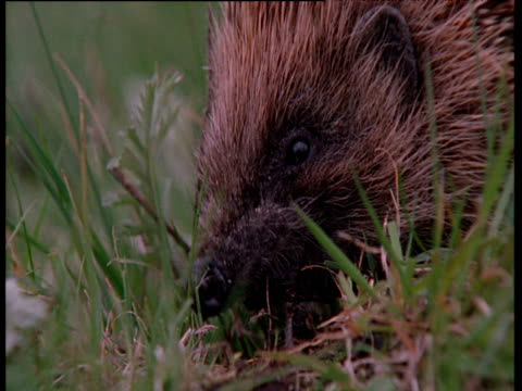 hedgehog sniffs at and eats earthworm, uk - hedgehog stock videos & royalty-free footage