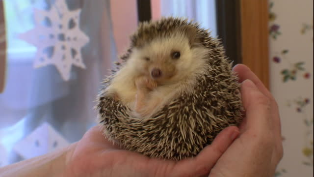 a hedgehog snuggles in a woman's hands. - cute stock videos & royalty-free footage
