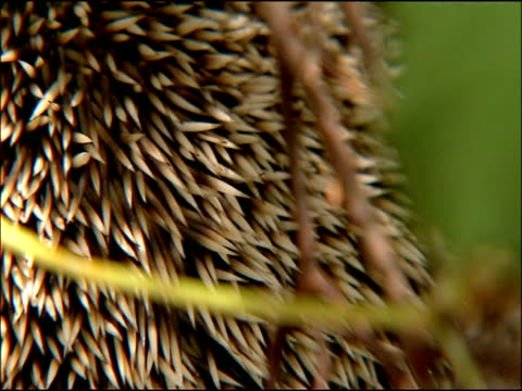 hedgehog (erinaceus europaeus) spines detail, autumn, parque natural los alcornocales, andalusia, southern spain - とげ点の映像素材/bロール