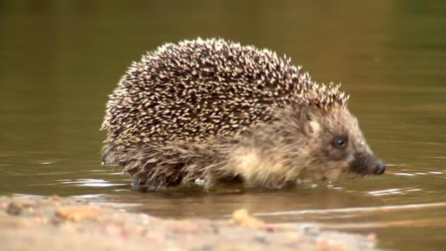 hedgehog - hedgehog stock videos & royalty-free footage