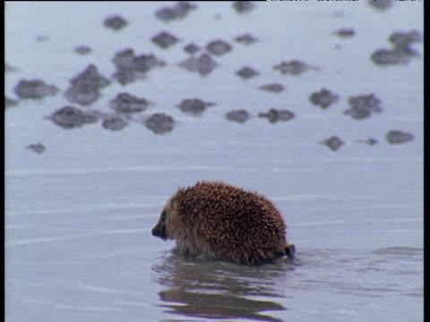 hedgehog wades over wet beach, scotland - hedgehog stock videos & royalty-free footage