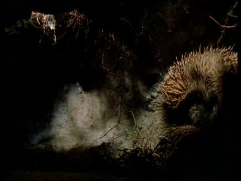 hedgehog wakes up and leaves burrow, uk - hedgehog stock videos & royalty-free footage