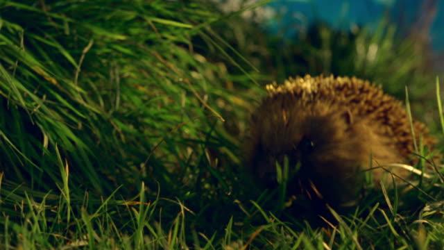 cu, hedgehog walking on grass - hedgehog stock videos & royalty-free footage