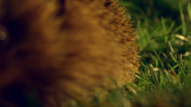 ECU, SELECTIVE FOCUS, Hedgehog walking on grass