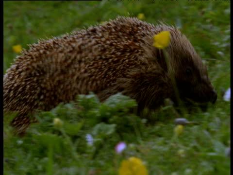 Hedgehog walks left to right across grassy cliff, western Scotland