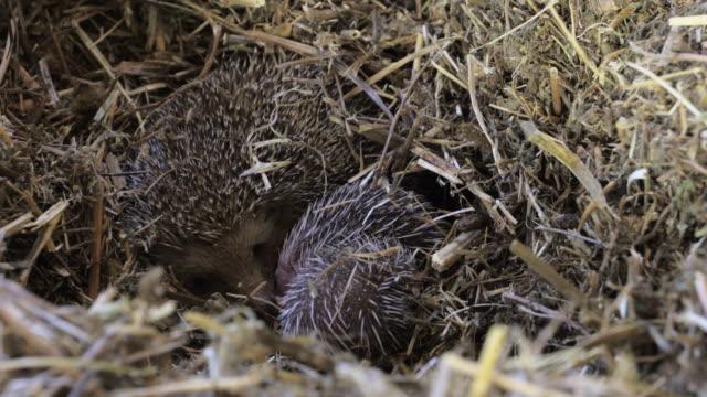hedgehogs 1 - hedgehog stock videos & royalty-free footage