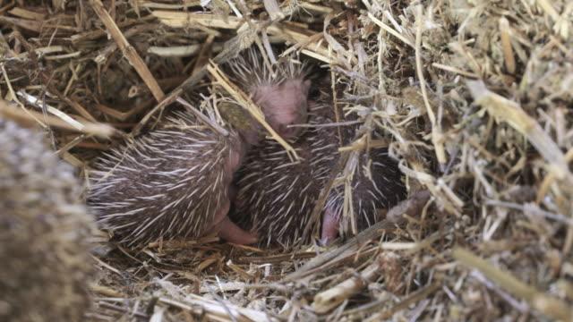 hedgehogs 2 - hedgehog stock videos & royalty-free footage