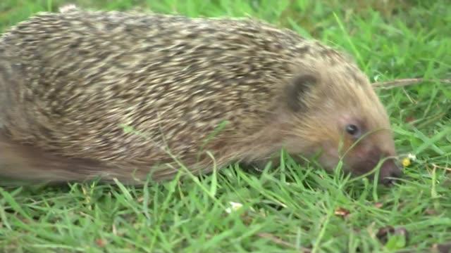 stockvideo's en b-roll-footage met hedgehogs in regent's park survive by avoiding the roads england london regent's park ext hedgehog walking along on grass entrance to regent's park... - vermijden