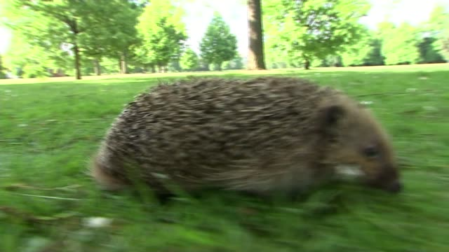 hedgehogs in regent's park survive by avoiding the roads radio transmitter held hedgehog walking over grass clare bowen interview sot the animals are... - foraging stock videos and b-roll footage