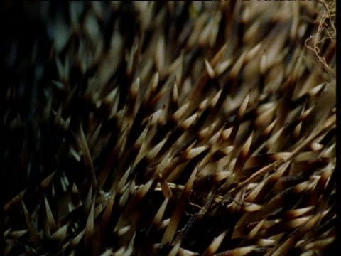 hedgehogs spiny coat, uk - とげ点の映像素材/bロール