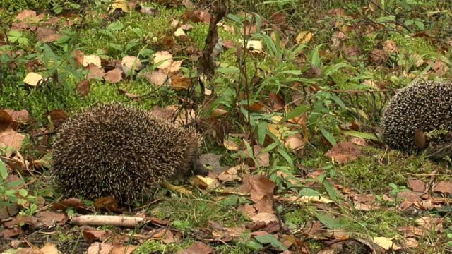 hedgehogs - hedgehog stock videos & royalty-free footage