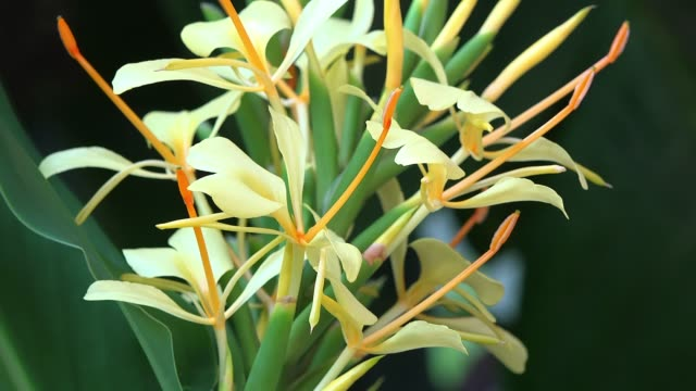 hedychium coronarium, yellow flower in the cuban countryside - eco tourism stock videos & royalty-free footage