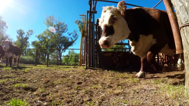 heifers being released from cattle yard - grass fed stock videos & royalty-free footage