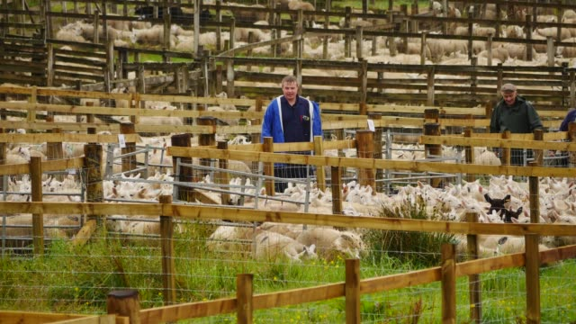held every august, the lairg lamb tup sale is the largest in europe with around 24,000 lambs being auctioned in one day at united auctions lairg... - herder stock videos & royalty-free footage