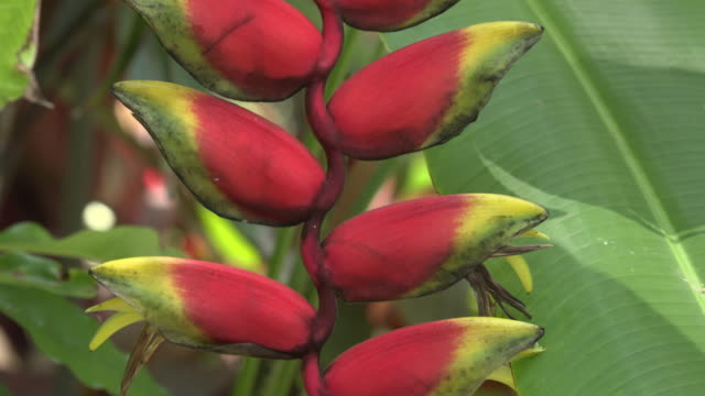 zo / heliconia blossom (heliconia rostrata), hanging lobster claw - heliconia stock videos & royalty-free footage