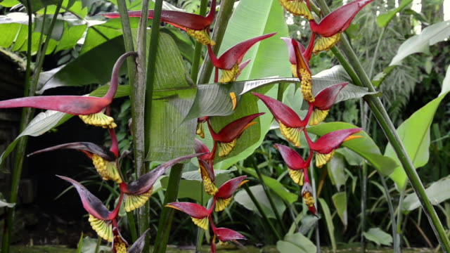 ms heliconia flower in tropical garden / ubud, bali, indonesia - heliconia stock videos & royalty-free footage