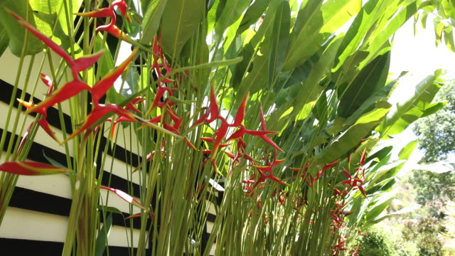 heliconia flowers found in the gardens of instituto terra on november 22, 2019 in aimorés, brazil. twenty years ago, this land was completely... - heliconia stock videos & royalty-free footage