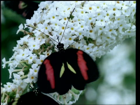 cu heliconid butterfly feeding on flowers - animal wing stock videos & royalty-free footage